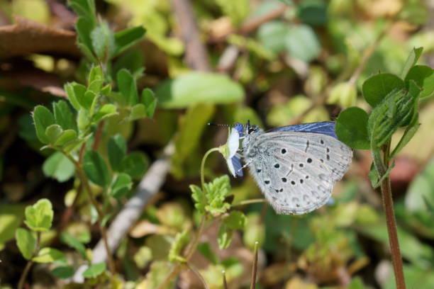 Celastrina sugitanii – Foto