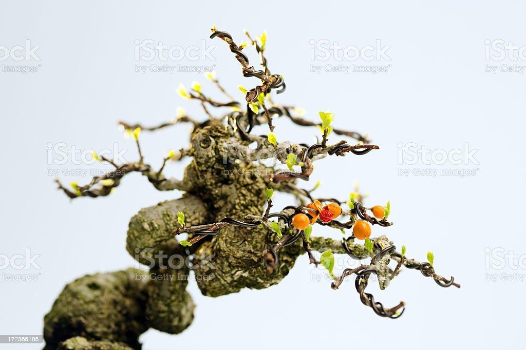 Celastrus bonsai stock photo