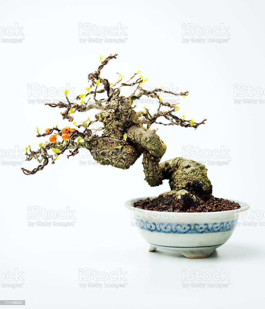 Celastrus bonsai royalty-free stock photo
