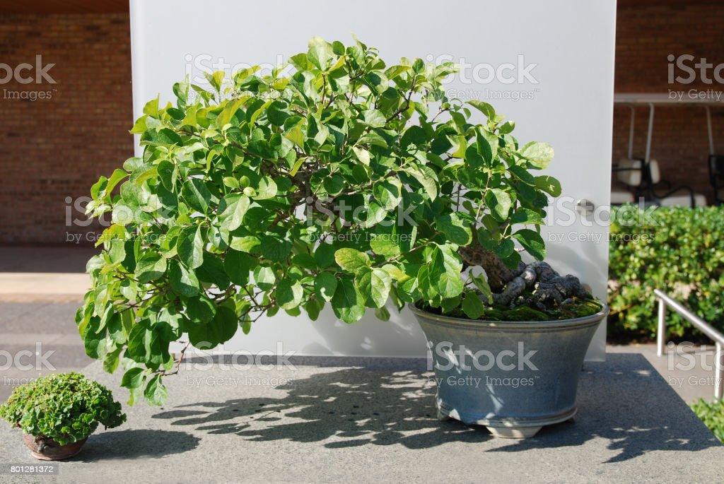 A Celastrus Orbiculatus Bonsai Against Sunshine Stock Photo Download Image Now Istock