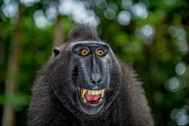 Celebes crested macaque with open mouth. Close up portrait stock photo