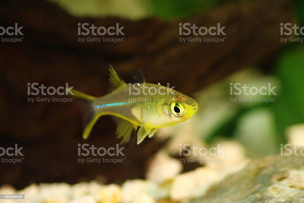 Celebes Rainbow Fish Marosatherina Ladigesi Rainbowfish Stock Photo Download Image Now Istock