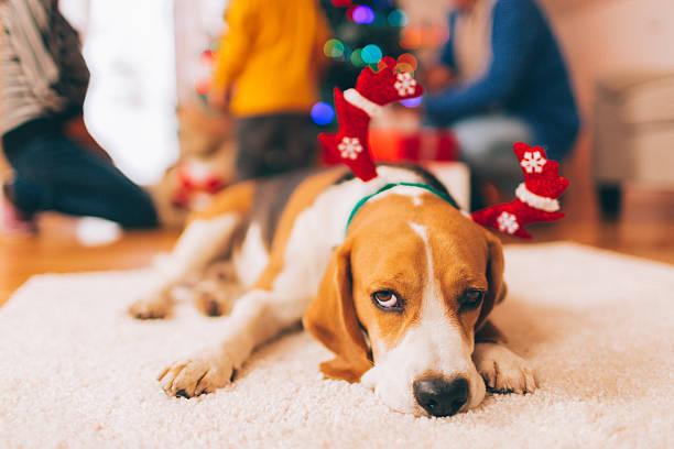 feiern sie weihnachten mit der familie - silvester mit hund stock-fotos und bilder
