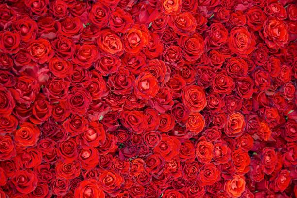 Celebratory background of beautiful red roses flowers picture id1021596342?b=1&k=6&m=1021596342&s=612x612&w=0&h=5ljcykdy3e2h9gmyxs6ycwqjtgqsed2zvkicxce70ua=
