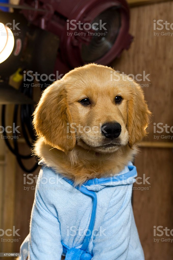 Celebrity Golden Retriever Puppy royalty-free stock photo