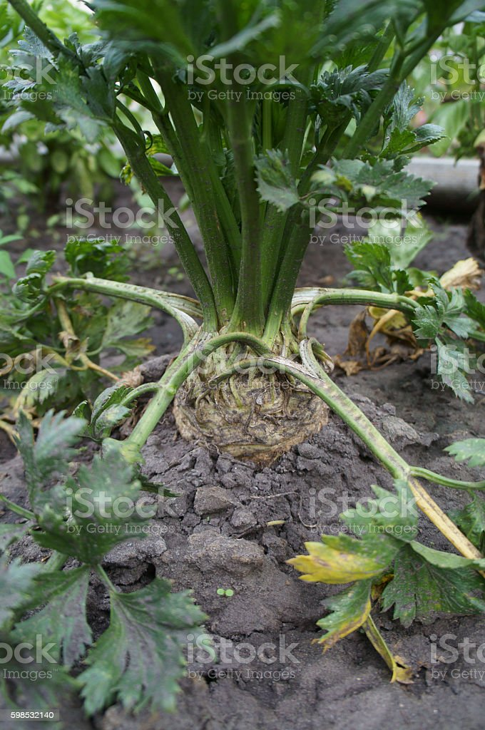 Celery root vegetable grows in the ground photo libre de droits