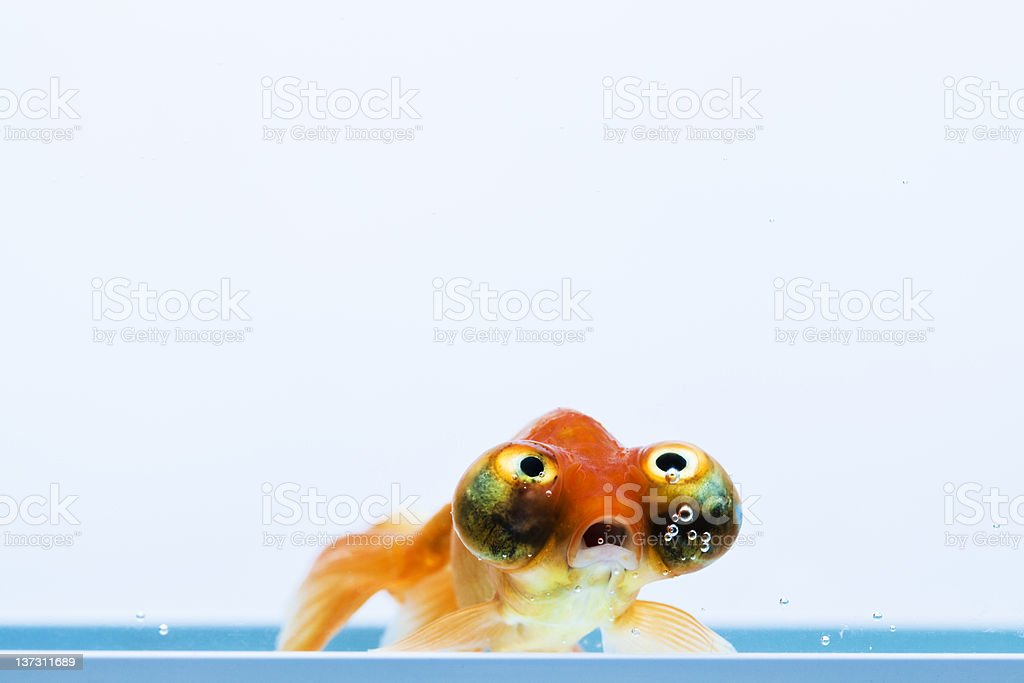 Celestial Eye Goldfish stock photo