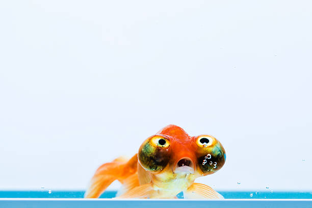 Celestial Eye Goldfish stock photo