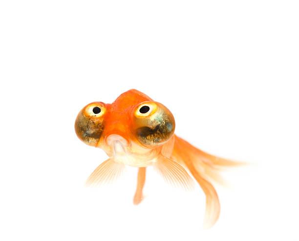 celestial oeil de poisson rouge - poisson rouge photos et images de collection