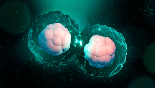 Cell division, mitosis or meiosis artisitic 3D rendering illustration. Genetic replication of cells with nucleus, membrane and cytoplasm. Genetics, biology, microbiology, medicine, science concept. stock photo