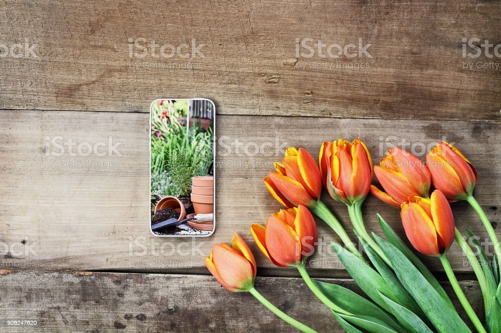 Cell Phone and Tulips stock photo