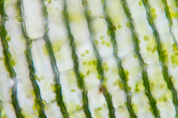 cell structure hydrilla, view of the leaf surface showing plant cells under the  microscope for classroom education. - гидрилла мутовчатая стоковые фото и изображения