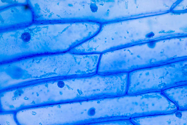 Cell structure plant (onion) showing under the microscope classroom education. Cell structure plant (onion) showing under the microscope classroom education. glycoprotein stock pictures, royalty-free photos & images