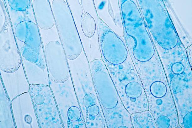 cell structure plant (onion) showing under the microscope classroom education. - ingrandimento foto e immagini stock