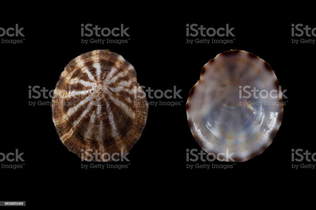 Cellana toreuma - Royalty-free Animal Shell Stock Photo