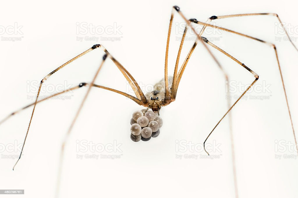 Cellar spider stock photo