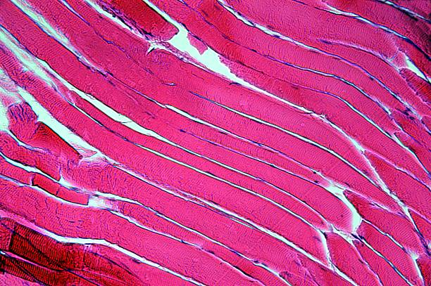Cells of a muscle fiber at 400times  magnification stock photo