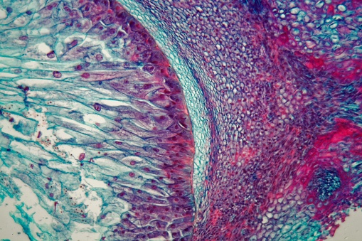 Cross section through cells of a seedling from a maize plant (Zea mays) under the microscope.