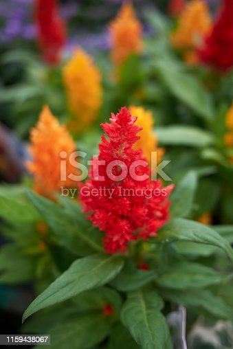 Celosia plumosa close up