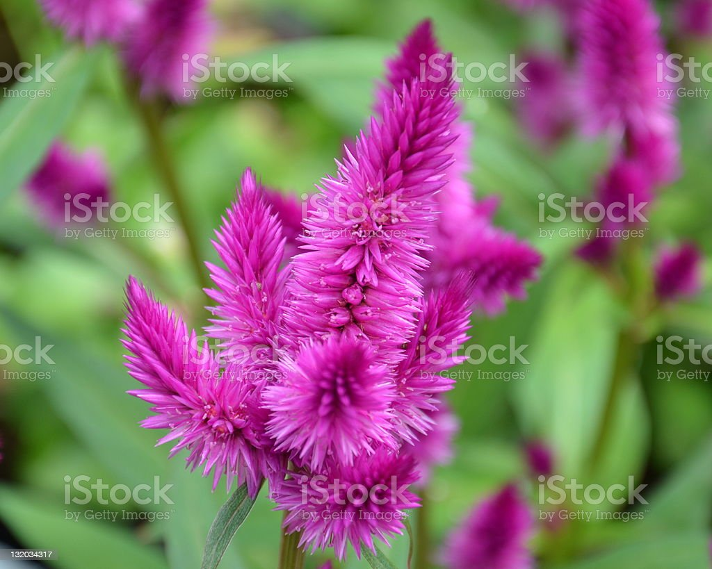 Celosia Purple Fuzzy Flower Stock Photo More Pictures Of Annual