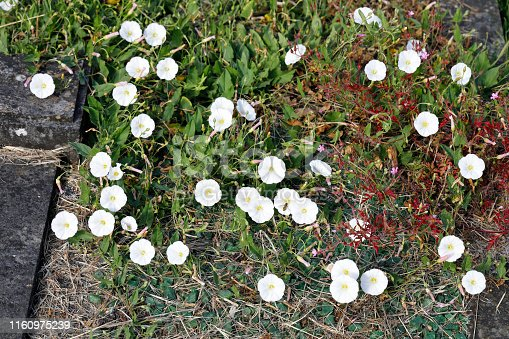 The white flowers of field bindweed (Convolvulus arvestris) decorate this grave in a cemetery in Surrey, England, accompanied by the red foliage of herb Robert.