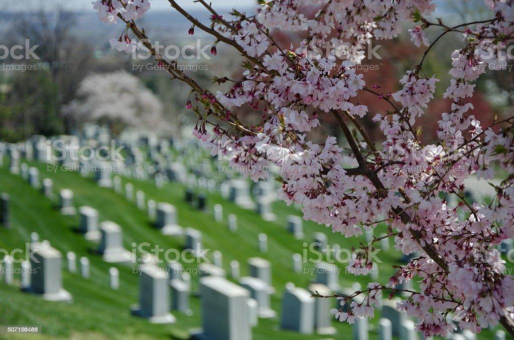 Cemetery Cherry Blossoms stock photo