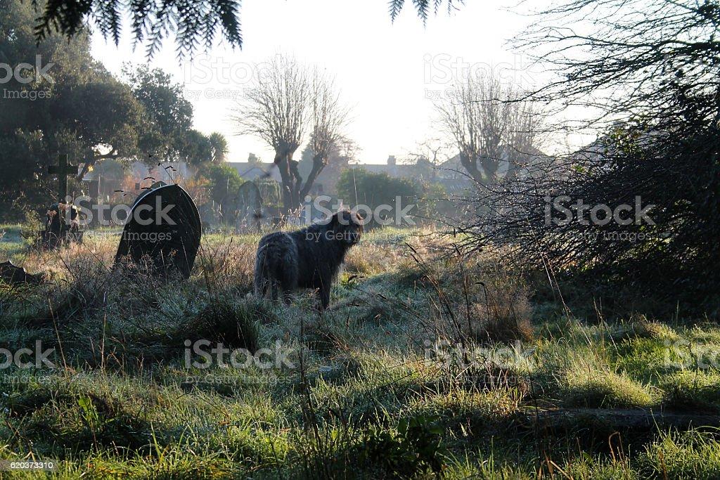 Cemetery Hound zbiór zdjęć royalty-free