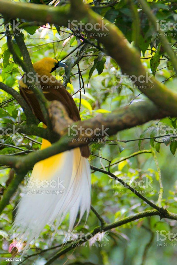 cendrawasih the bird of paradise papua stock photo
