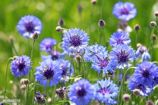 It is not to be confused with Cornflour. For the fictional anthropomorphic mouse, see Cornflower (Redwall). Centaurea cyanus, commonly known as cornflower, bachelor's button, bluebottle, boutonniere flower, hurtsickle or cyani flower
