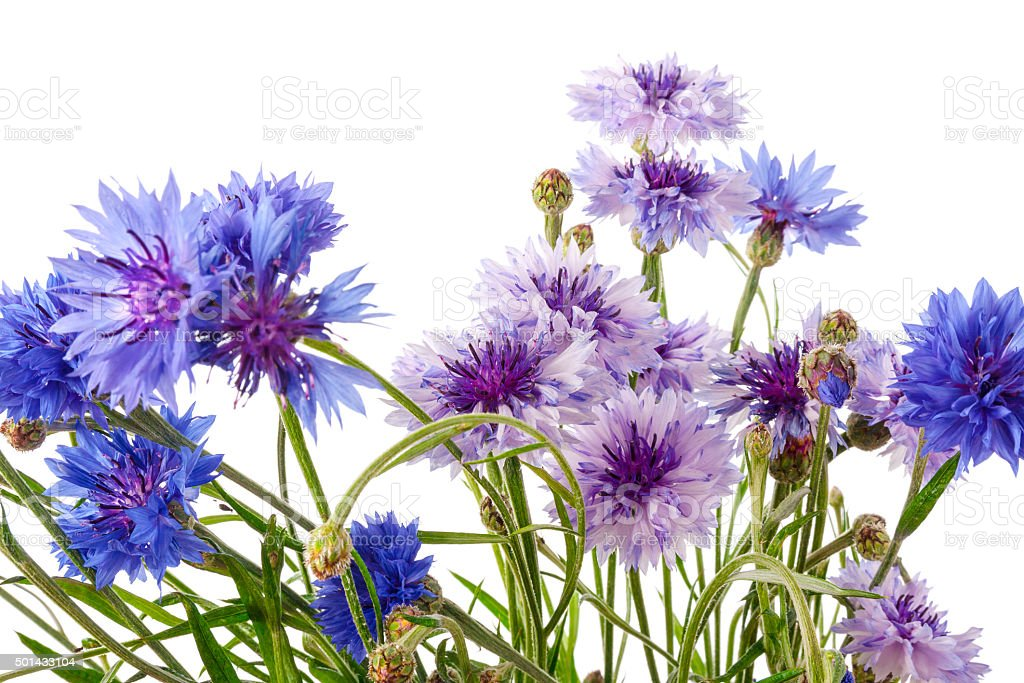Centaurea fllowers stock photo