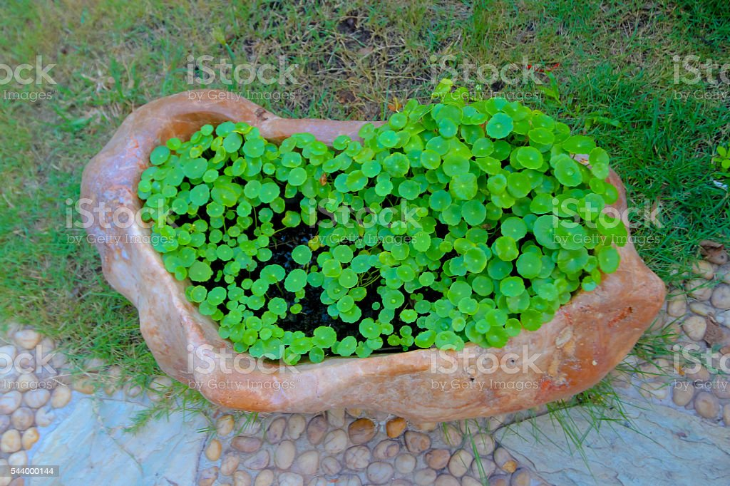 Centella asiatica, Asiatic Pennywort,(Centella asiatica (Linn.) stock photo