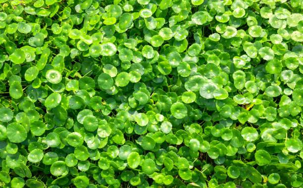 Centella asiatica Grünes Blatt Pflanzliche Pflanze natürliche Hintergrundmuster – Foto