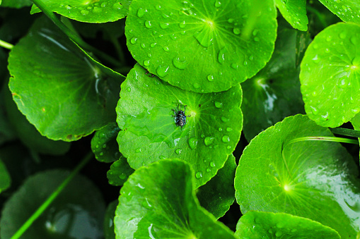 Centella asiatica non-toxic health food, Insects on the water.