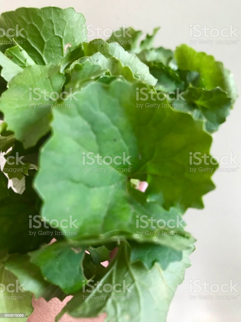 Centella Asiatica stock photo