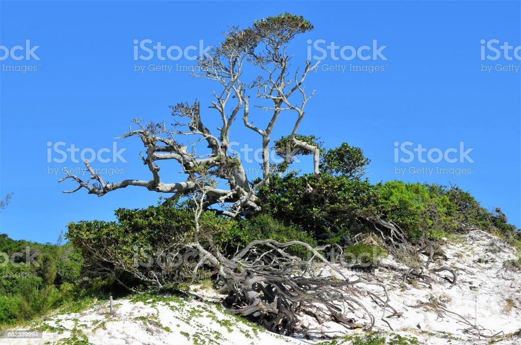 Centenary fig tree royalty-free stock photo