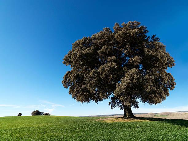 Centenary Oak 39 Megapixel betragen. – Foto