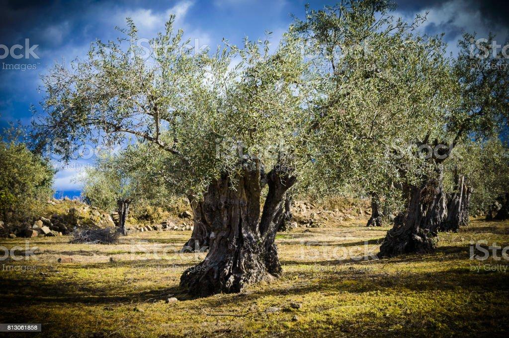 Centenary olive tree stock photo