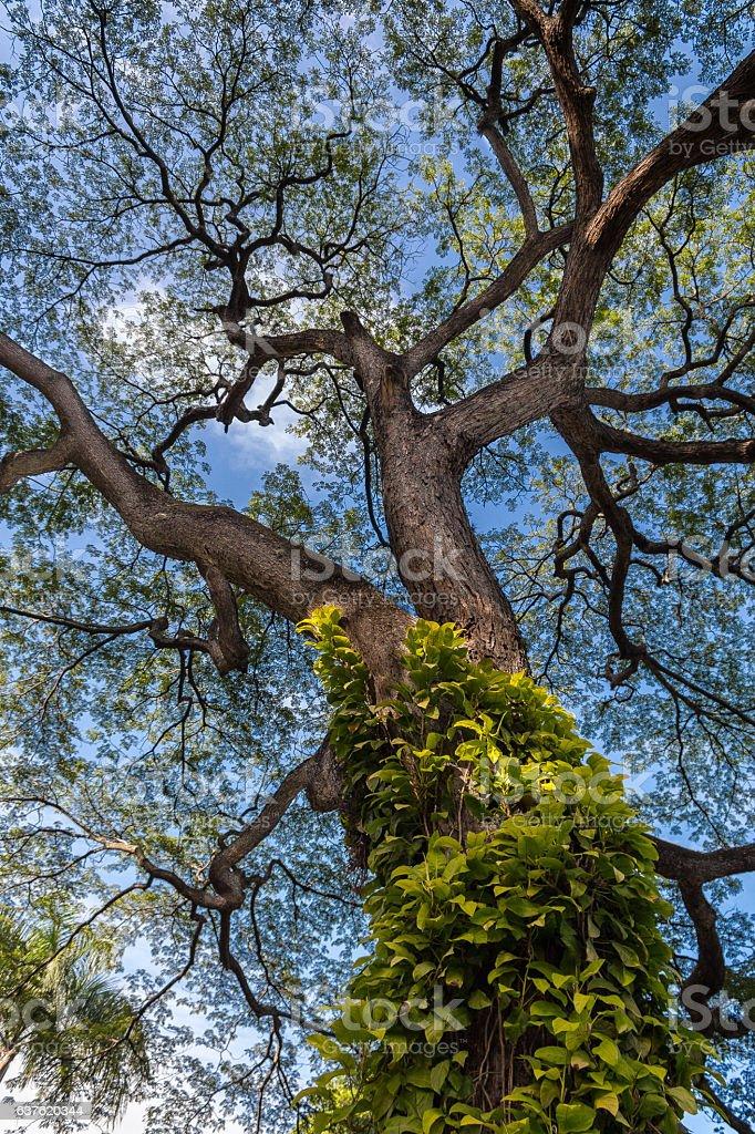Centenary tree stock photo
