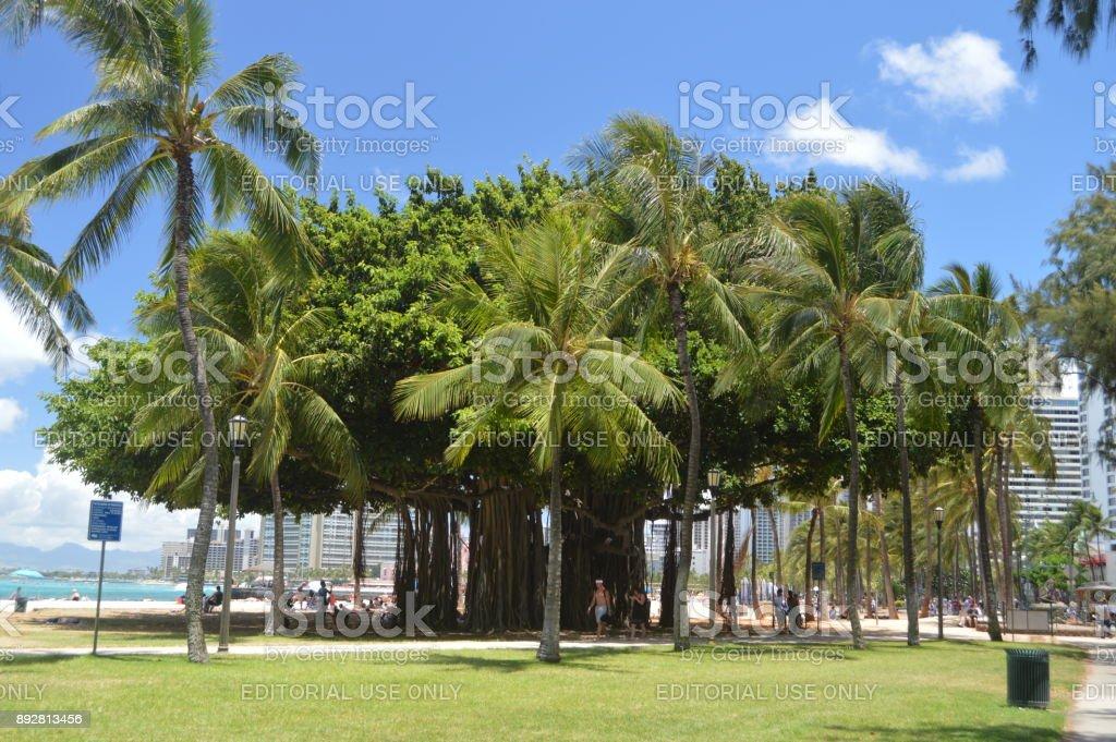 Árbol centenario en la playa de Waikiki. 12 de julio de 2017. Oahu, Hawaii, USA, EEUU. - foto de stock