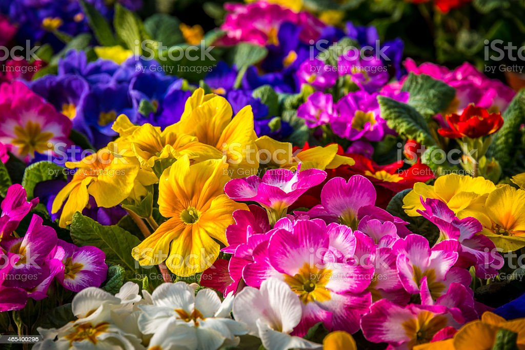 center focus on a garden of primula. stock photo