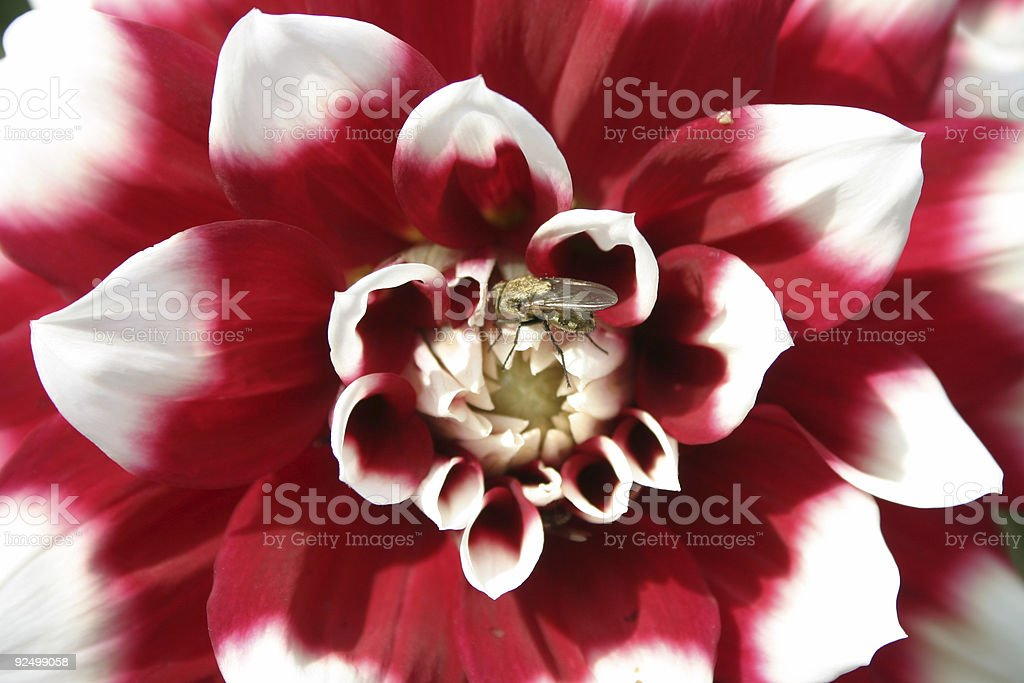 Center of a red and white bloom royalty-free stock photo