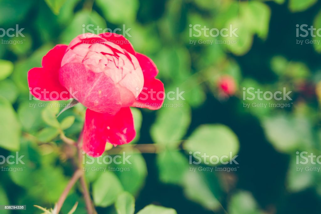 Centifolia Red Rose With Defocused Foliage Natural Flower Soft Focus Copy Space