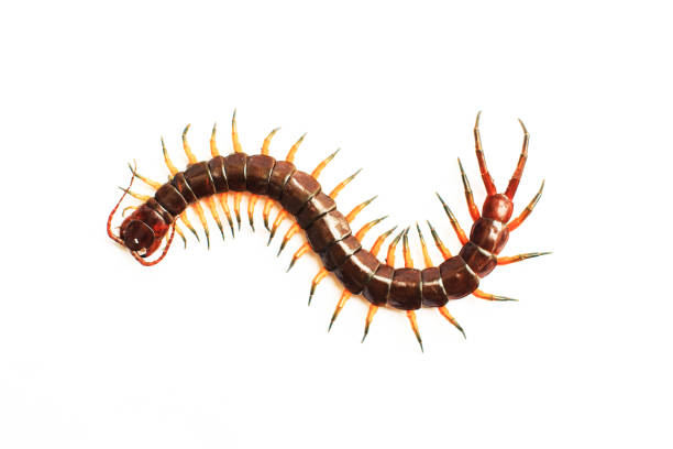centipede isolate on white background stock photo