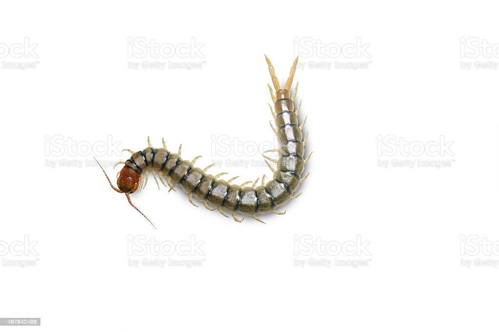 Centipede isolated on white w stock photo