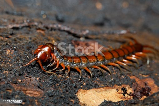 centipede, Scolopendra sp., on mossy tree in tropical rainforest, Farankaraina National Park, Madagascar wildlife and wilderness