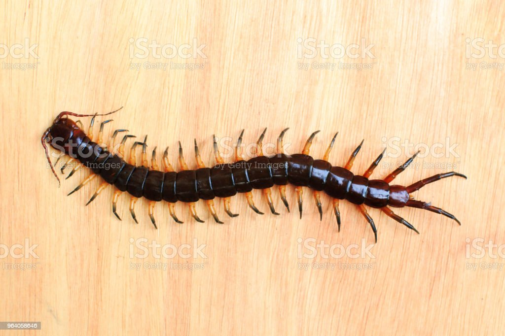 centipede on wood background - Royalty-free Animal Stock Photo