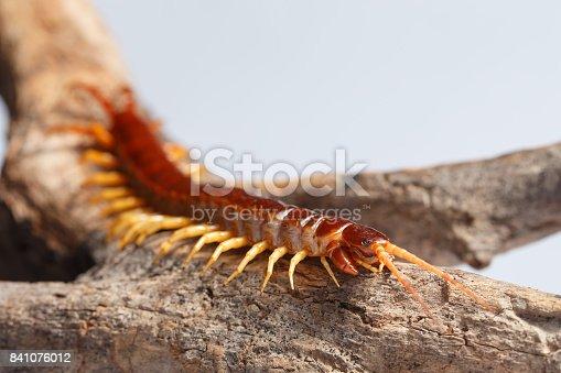istock centipede 841076012