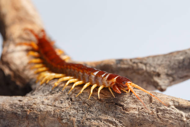 centipede Centipede climb on the branches annelid stock pictures, royalty-free photos & images
