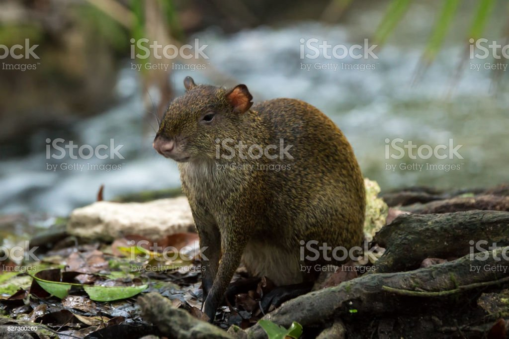 Central American Agouti Dasyprocta punctata. Wildlife animal. stock photo
