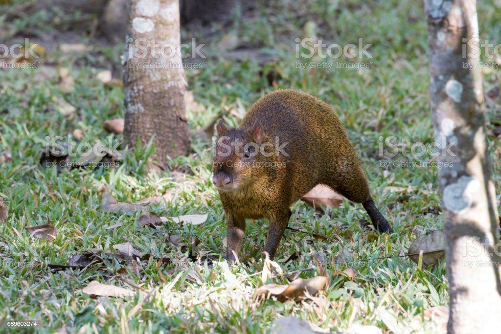 Central American agouti stock photo